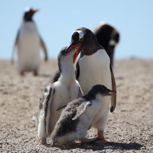 Gentoo Penguin chick getting fed