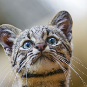 Geoffroy's cat looking a bit dumb