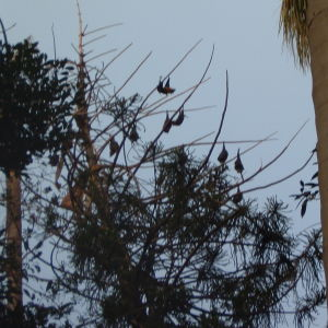 giant fruit bats