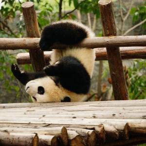 Giant Panda having fun.