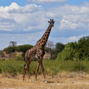 Giraffe, Ruaha National Park (11)