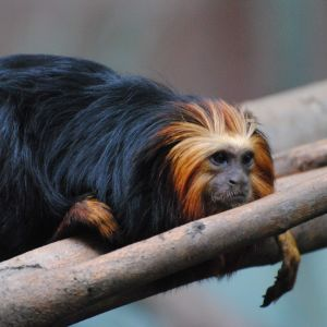 Golden-headed Lion Tamarin Monkey, London Zoo
