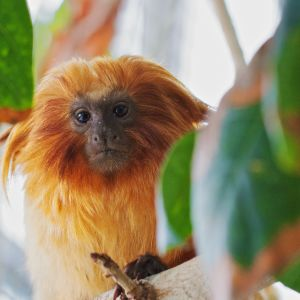 Golden Lion Tamarin in the Tree