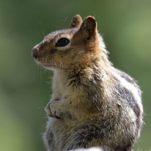 Golden-mantled Ground Squirrel: Spermophilus lateralis