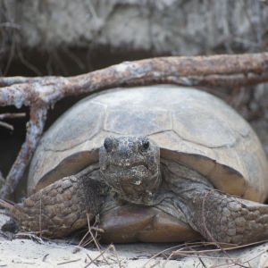 Gopher Tortoise Emerging from Her Burrow