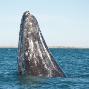 Gray whale spyhopping 6