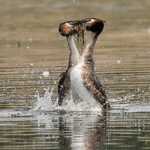 Great Crested Grebes - Weed Dance