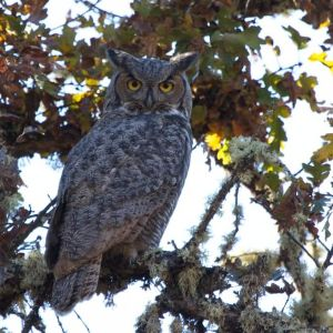 Great Horned Owl | Denman | 2012-11-04at03-52-14
