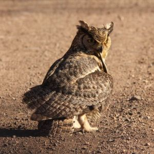 Great Horned Owl eating snake, Harshaw Rd., Patagonia, AZ, 22 Feb 2015