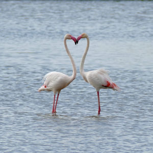 Greater Flamingoes (Phoenicopterus roseus)