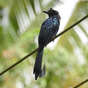 Greater Racket-Tailed Drongo photo
