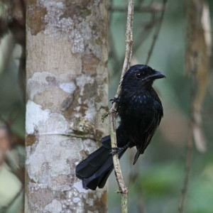 Greater Racket-tailed Drongo - juvenile