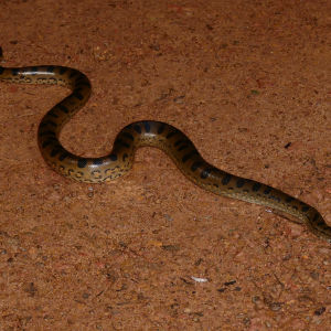 Green Anaconda (Eunectes murinus) neonate crossing the dirt road ..