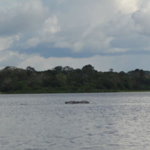 Grey river dolphins