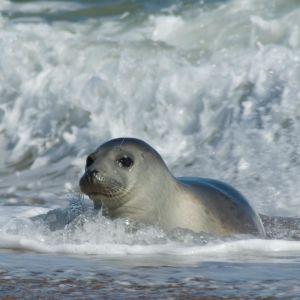 Grey Seal (Halichoerus grypus), Horsey Beach