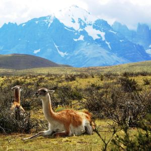 Guanaco in front of the 3 torres del Paine