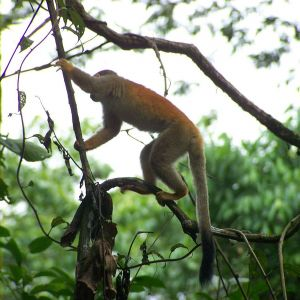 Central American Squirrel Monkey photo