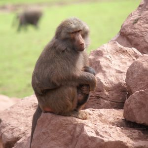Hamadryas Baboon at South Lakes Wild Animal Park