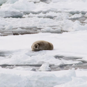 harp seal (probable) Pagophilus groenlandicus