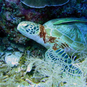 Hawksbill Turtle, Clarence's Wall, Palau