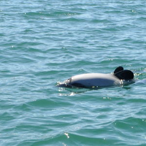 Hector's Dolphins in Picton