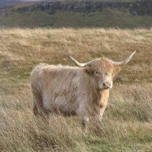 Highland Cattle!