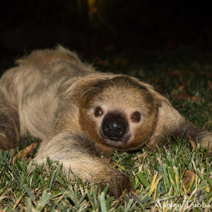 Hoffman's Two-toed Sloth, Choloepus hoffmanni