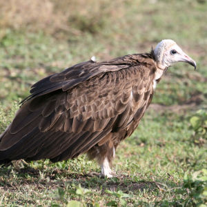 Hooded Vulture near Ndutu Lodge, Serengeti