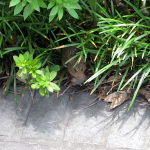 Houmas House Plantation - Gardens - Mouse