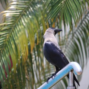 House Crow, Mumbai - India, April 25 2014.