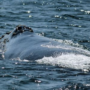 North Pacific Right Whale photo