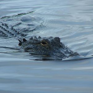 American Alligator photo