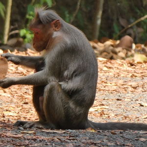 India - Kerala - Anthrippally Falls - bonnet macaque monkeys