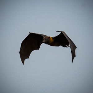 Indian flying fox (Pteropus giganteus)