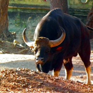 Indian gaur at Mysore zoo