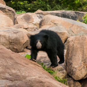 Indian Sloth Bear (Melursus Ursinus)