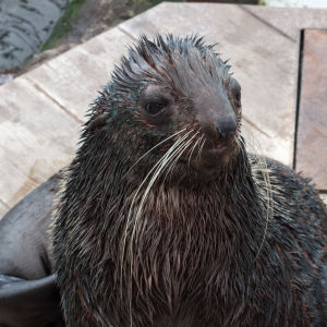 Isaac, the Northern Fur Seal [253/366]