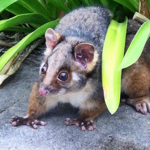 Jan 3: Ringtail Possum