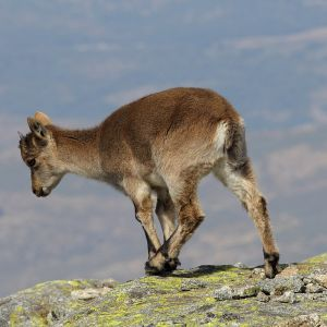 Spanish Ibex photo