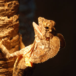 Juvenile Frilled Neck Lizard