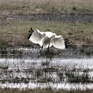 Juvenile Whooping Crane Testing It's Wings