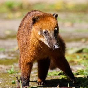 South American Coati photo