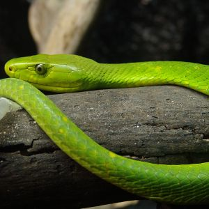 Eastern Green Mamba photo