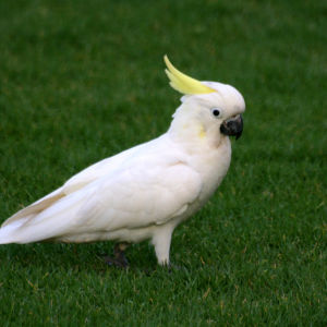 Kakatua (Yellow-crested Cockatoo) al pascolo