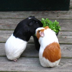 Kina-chan and Mou-chan munch cilantro