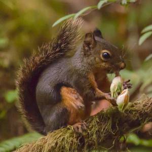 lactating female Tamiasciurus douglasii (Douglas's squirrel), eating young cones of Douglas Fir