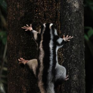 Larger sugar-junkie striped possum (Dactylopsila trivirgata)