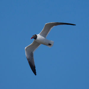 Laughing Gull, Fire Island