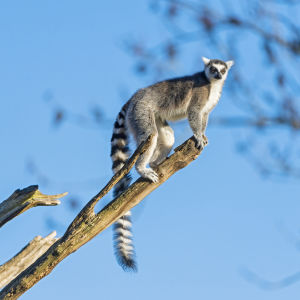Lemur up there