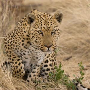 Leopard about to Pounce
